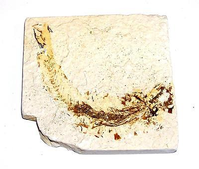 FOSSIL Green River Formation Wyoming 50 Million Years Old FISH F16