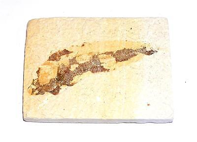 FOSSIL Green River Formation Wyoming 50 Million Years Old FISH F17