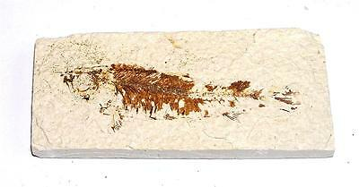 FOSSIL Green River Formation Wyoming 50 Million Years Old FISH F12