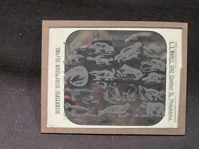 Zoology #6 Scientific Late 1800s Sciopticon Glass Slide Magic Lantern