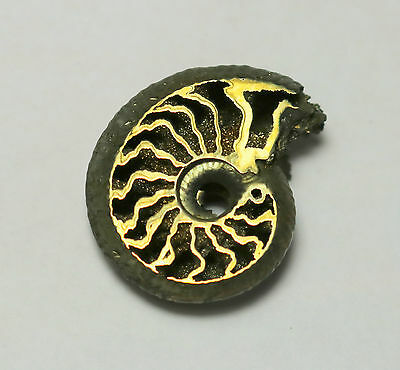 Rare Russian Volga River PYRITE Ammonite, Unique Cephalopod, energetic #3