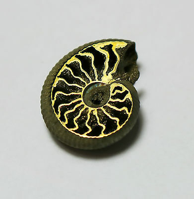 Rare Russian Volga River PYRITE Ammonite, Unique Cephalopod, energetic #4