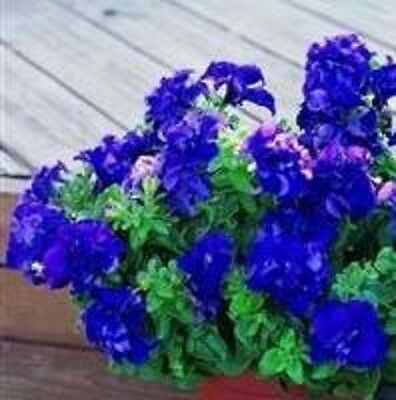 Petunia - Double Cascade Blue - 25 Seeds