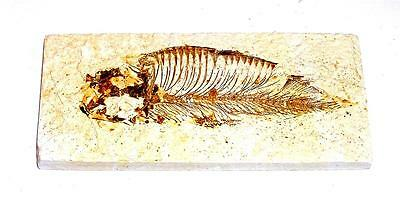 FOSSIL Green River Formation Wyoming 50 Million Years Old FISH F10