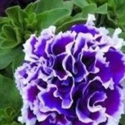 Petunia - Pirouette Double Purple - 20 Seeds