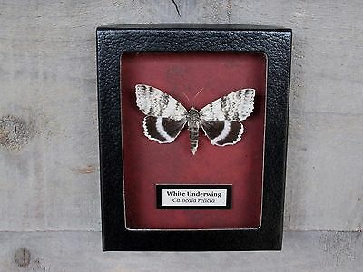 E323) Real WHITE UNDERWING MOTH Catocala relicta 4X5 Framed butterfly insect USA