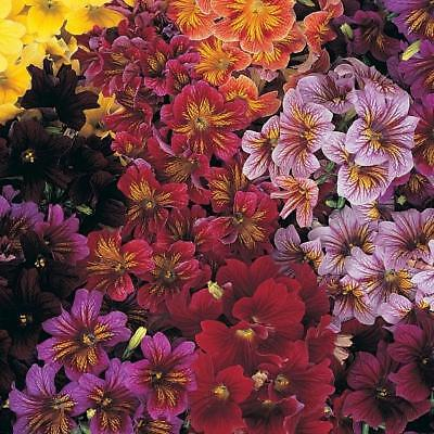 Pack Flower Seeds Salpiglossis Royal Mixed F1 Kings Quality Garden Seeds