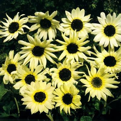 Pack Flower Seed Sunflower 'Vanilla Ice' King's Quality Seeds