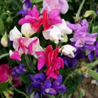 Pack Flower Seed Sweet Pea Cupid Mixed King's Quality Seeds