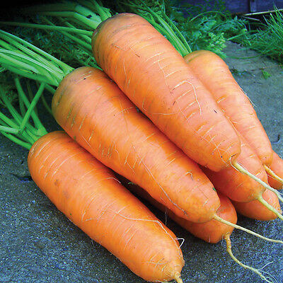 Kings Seeds - Carrot Katrin - 3000 Seeds