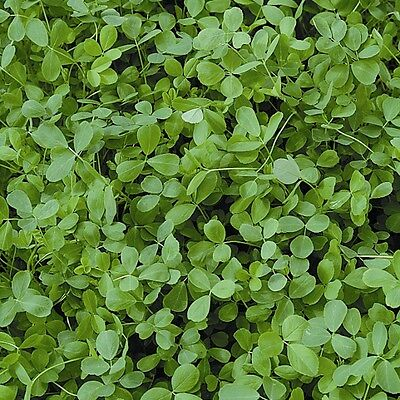 Kings Seeds - Green Manure - Alfalfa - pack for 40sq.m