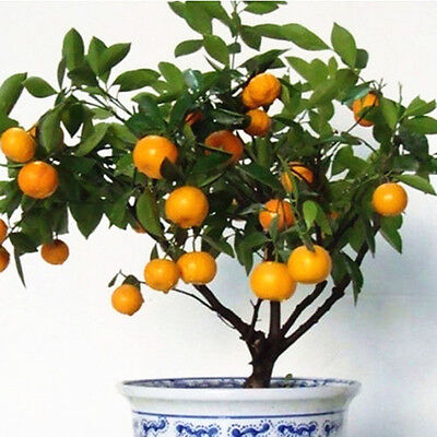 30pcs Edible Fruit Mandarin Citrus Orange Bonsai Tree Seeds