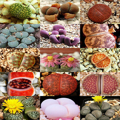 100 Rare Mix Lithops Seeds Living Stones Succulent Cactus Organic Bulk Seed FS