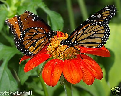 Butterflies 8 x 10 / 8x10 GLOSSY Photo Picture
