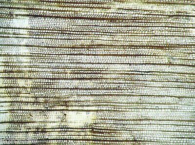Devonian Callixylon oldest known wood growth ring thin section Oklahoma (Small)