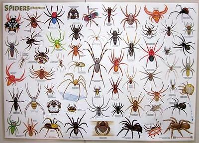 Spiders Of Australia Laminated Poster Chart Huntsman Red Back Garden Wolf
