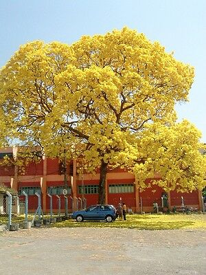 GOLDEN TRUMPET TREE (Tabebuia chrysotrichus) 30 seeds
