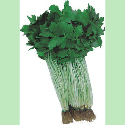 Kings Seeds - Oriental Seeds - Japanese Parsley Mitsuba - 500 Seeds