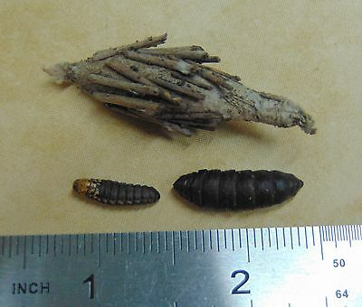 Real EVERGREEN BAGWORM MOTH Life Cycle Taxidermy Set Caterpillar Pupa Cocoon USA