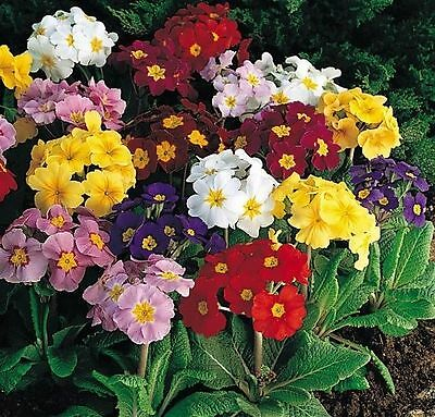 New Pack x6 Primula Polyanthus 'Pacific Giants' F1 Large Flower Mix Plug Plants