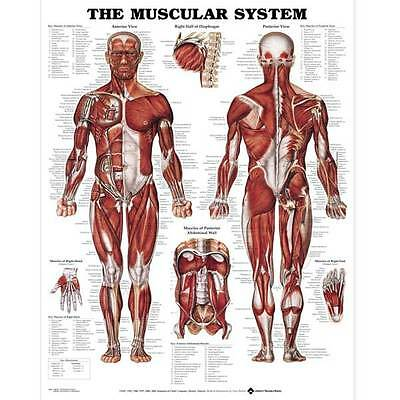 Anatomical Chart Muscular System - Anterior And Posterior Views of the Muscle