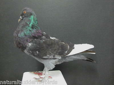 Gray Pouter Pigeon Real Bird Taxidermy Bird Mount