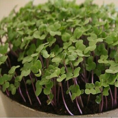 Kings Seeds - Sprouting Seeds, Salad Rape - 2500 Seeds