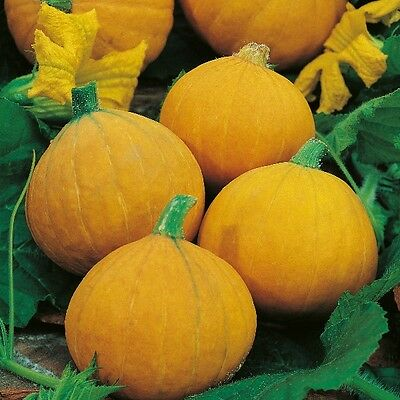 Kings Seeds - Squash, Winter Squash Gold Nugget - 15 Seeds