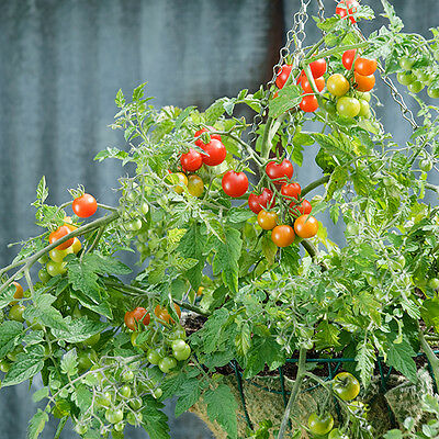 Kings Seeds - Tomato Lizzano F1 - 7 Seeds