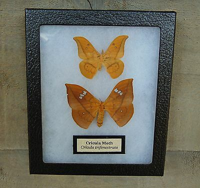 E513) Real Cricula Moth Pair 5X6 Framed butterfly insect taxidermy Saturniidae