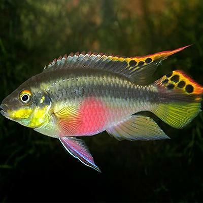 10 eggs tricolour medaka fish rare ricefish oryzias for Live fish for sale online
