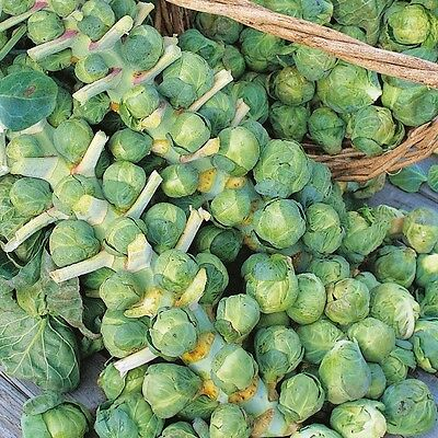Kings Seeds - Brussels Sprout - Cascade F1 - 75 Seeds