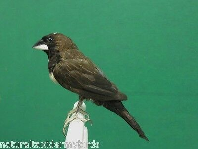 Bengalese Finch Real Bird Taxidermy Bird Mount