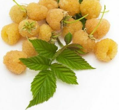 British Columbia Fall Gold Raspberry -20 Seeds- Golden & Rich Sweet Raspberries