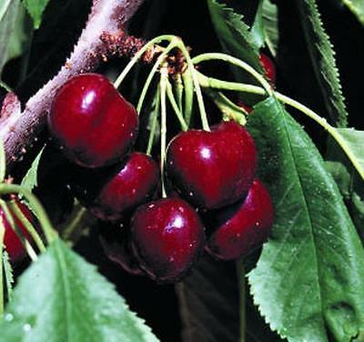 British Columbia Lapin Sweet Cherry Trees 5 seeds - Excellent Firmness & Flavor