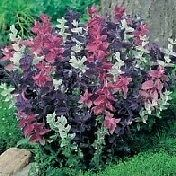 Clary Sage Seeds (Monarch Mix) - One of the most striking border plants