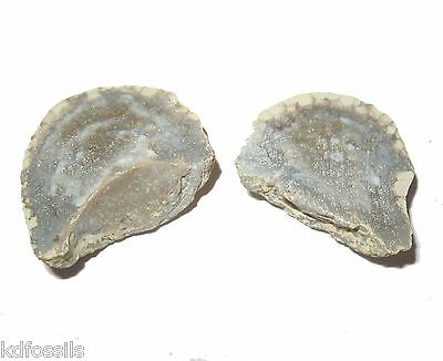 Devonian Favosites conicus cut polished coral fossil Haragan group Oklahoma