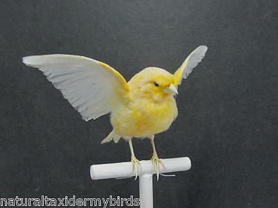 Yellow Canary Real Bird Taxidermy Bird Mount with Wings Up