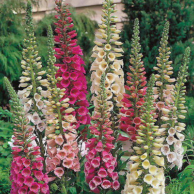 Pack x6 Dwarf Foxglove Digitalis 'Foxy Mixed' Cottage Garden Plug Plants
