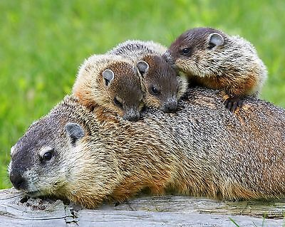 Groundhog / Mother Groundhog and Babies 8 x 10 / 8x10 GLOSSY Photo Picture