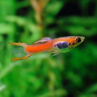 Live tropical fish guppy assorted males females 1 pound for Live fish for sale