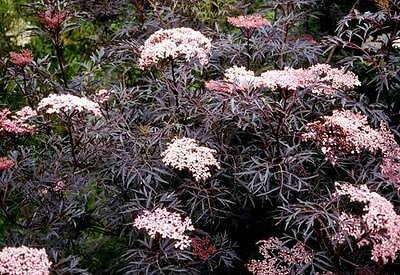 Sambucus Nigra Seeds, Elderflower, Elderberry