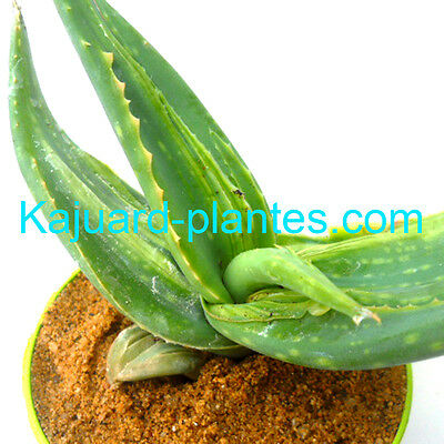 Aloe Striata Variegata Monstruosa, Aloe, pot diam 8cm.