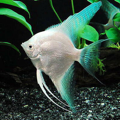 Image gallery kissing fish for sale for Aquarium fish for sale online