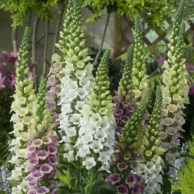Pack Flower Seed Foxglove Candy Mountains Mixed Kings Quality Seeds