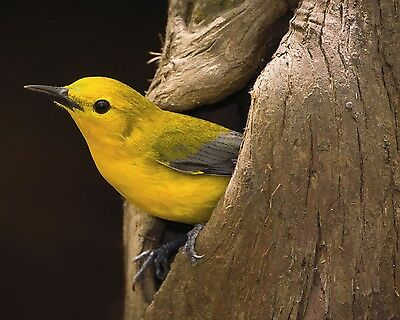 Prothonotary Warbler / Bird 8 x 10 GLOSSY Photo Picture