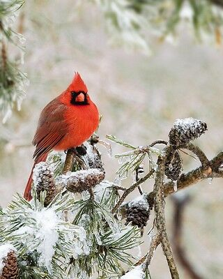 Red Cardinal / BIRD 8 x 10 / 8x10 GLOSSY Photo Picture IMAGE #6