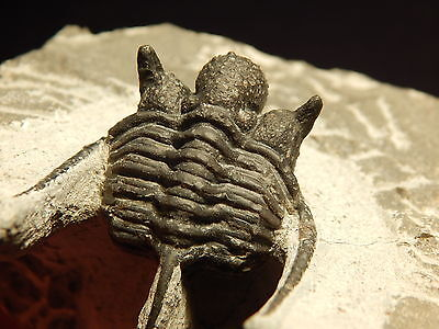 A NICE Larger SPINY Cyphaspis sp Trilobite Fossil 100% Natural Morocco 248gr