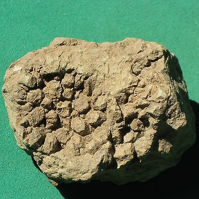 CORAL FOSSIL crinoid trilobite age mineral Pleurodictyum amazonicum Rarity