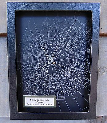 GC1 Real Spiny-backed Orb Weaver Spider on actual Web framed shadowbox taxidermy